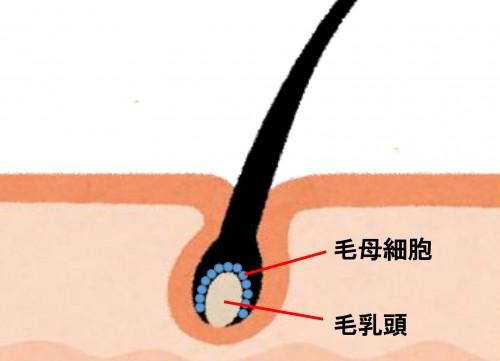 毛母細胞&毛乳頭2