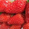酸味が少なく甘くてジューシー、静岡県を代表する苺「章姫(あきひめ)」。美味しさの秘密はどこに。